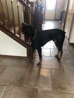 Doberman Pinscher Puppies for sale in Stanwood, WA 98292, USA. price: NA