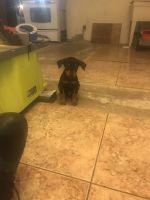 Doberman Pinscher Puppies for sale in Spring Valley, CA, USA. price: NA