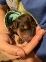 Doberman Pinscher Puppies for sale in Oakland, CA, USA. price: NA
