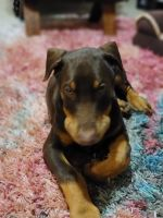 Doberman Pinscher Puppies for sale in Elgin, IL 60124, USA. price: NA