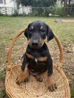 Doberman Pinscher Puppies for sale in Pensacola, FL, USA. price: NA