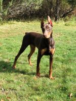 Doberman Pinscher Puppies for sale in Sag Harbor, NY 11963, USA. price: NA