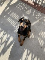 Doberman Pinscher Puppies for sale in Riverside, CA, USA. price: NA