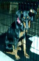 Doberman Pinscher Puppies for sale in Hemet, CA, USA. price: NA