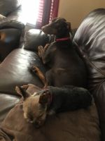 Doberman Pinscher Puppies for sale in Waukesha, WI, USA. price: NA