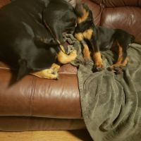 Doberman Pinscher Puppies for sale in Boonsboro, MD 21713, USA. price: NA