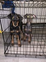 Doberman Pinscher Puppies for sale in Greensboro, NC, USA. price: NA