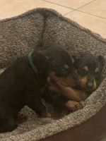 Doberman Pinscher Puppies for sale in Mission, TX, USA. price: NA