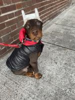 Doberman Pinscher Puppies for sale in The Bronx, NY, USA. price: NA