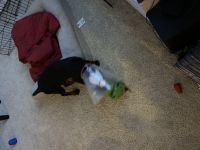 Doberman Pinscher Puppies for sale in Los Angeles, CA, USA. price: NA