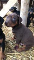 Doberman Pinscher Puppies for sale in Mabton, WA 98935, USA. price: NA
