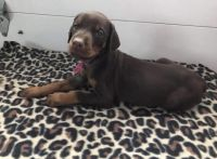 Doberman Pinscher Puppies for sale in Florence, SC, USA. price: NA
