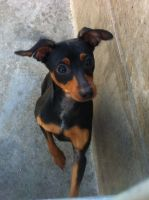 Doberman Pinscher Puppies for sale in Sterling Heights, MI 48312, USA. price: NA