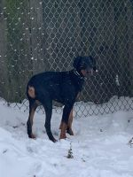 Doberman Pinscher Puppies for sale in 16346 Barriemore Ave, Middleburg Heights, OH 44130, USA. price: NA