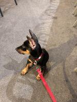 Doberman Pinscher Puppies for sale in Corona, CA 92880, USA. price: NA