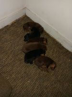 Doberman Pinscher Puppies for sale in Memphis, TN, USA. price: NA