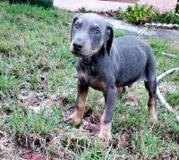 Doberman Pinscher Puppies for sale in Clermont, FL, USA. price: NA