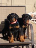 Doberman Pinscher Puppies for sale in Gilbert, AZ 85297, USA. price: NA