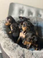 Doberman Pinscher Puppies for sale in Sacramento, CA 95834, USA. price: NA