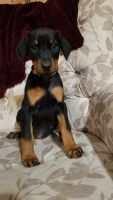 Doberman Pinscher Puppies for sale in Buffalo, NY, USA. price: NA