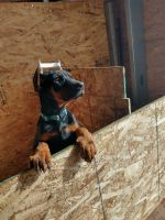 Doberman Pinscher Puppies for sale in 5880 S Johnson Rd, Rush, CO 80833, USA. price: NA