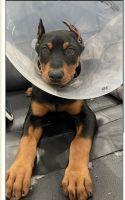 Doberman Pinscher Puppies for sale in Anaheim, CA, USA. price: NA