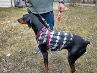 Doberman Pinscher Puppies for sale in Watervliet, MI 49098, USA. price: NA