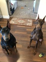Doberman Pinscher Puppies for sale in Jacksonville, NC 28546, USA. price: NA