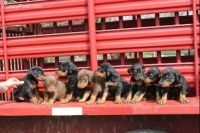 Doberman Pinscher Puppies for sale in Rochester, MN 55901, USA. price: NA