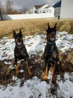 Doberman Pinscher Puppies for sale in Nampa, ID, USA. price: NA