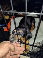 Doberman Pinscher Puppies for sale in Phillips Ranch, CA 91766, USA. price: NA