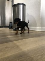 Doberman Pinscher Puppies for sale in Thornton, CO, USA. price: NA