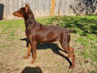 Doberman Pinscher Puppies for sale in Elgin, TX 78621, USA. price: NA