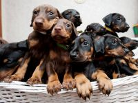 Doberman Pinscher Puppies for sale in Eagle Mountain, UT, USA. price: NA