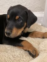 Doberman Pinscher Puppies for sale in Greenville, SC, USA. price: NA