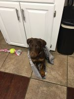 Doberman Pinscher Puppies for sale in Humansville, MO 65674, USA. price: NA