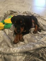 Doberman Pinscher Puppies for sale in Conroe, TX, USA. price: NA