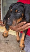 Doberman Pinscher Puppies for sale in Fresno, TX, USA. price: NA