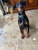 Doberman Pinscher Puppies for sale in Gladewater, TX 75647, USA. price: NA