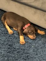 Doberman Pinscher Puppies for sale in Inglewood, CA, USA. price: NA