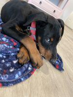 Doberman Pinscher Puppies for sale in Vista, CA, USA. price: NA