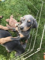 Doberman Pinscher Puppies for sale in Milton-Freewater, OR 97862, USA. price: NA