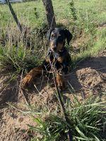 Doberman Pinscher Puppies for sale in Amarillo, TX, USA. price: NA