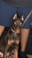 Doberman Pinscher Puppies for sale in Marietta, GA, USA. price: NA