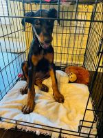 Doberman Pinscher Puppies for sale in Pearland, TX 77584, USA. price: NA