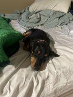 Doberman Pinscher Puppies for sale in Corona, CA, USA. price: NA