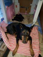 Doberman Pinscher Puppies for sale in San Fernando, CA 91345, USA. price: NA