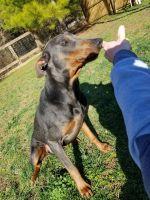 Doberman Pinscher Puppies for sale in Atlanta, GA, USA. price: NA