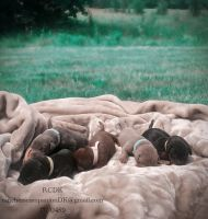 Doberman Pinscher Puppies for sale in Jefferson City, MO, USA. price: NA