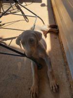 Doberman Pinscher Puppies for sale in Gainesville, GA 30506, USA. price: NA
